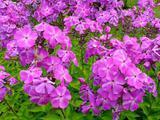 Флоксы. Многолетние садовые растения
